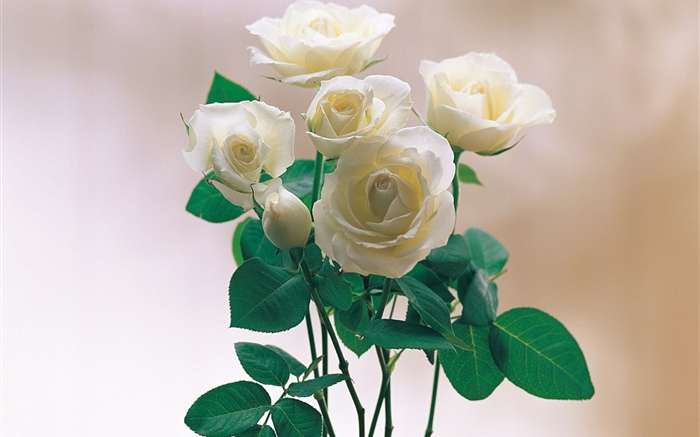 White petals rose Wallpapers Pictures Photos Images