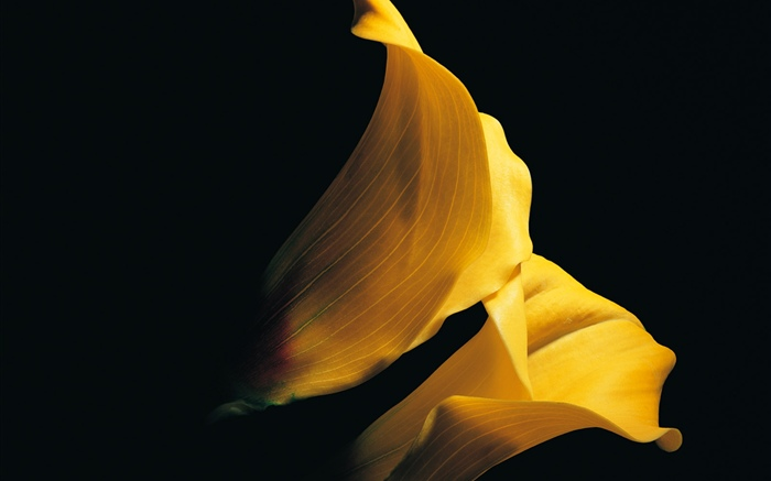 Yellow petals calla lily close-up Wallpapers Pictures Photos Images
