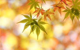 Autumn, maple leaves, glare HD wallpaper