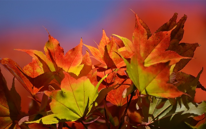 Autumn, red maple leaves Wallpapers Pictures Photos Images