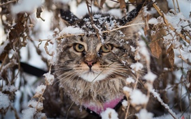 British fold cat, snow, winter HD wallpaper