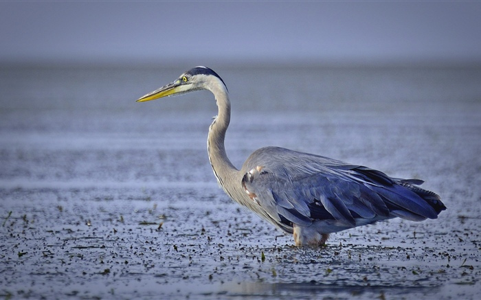 Grey heron, bird, lake Wallpapers Pictures Photos Images