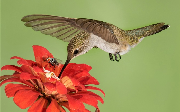 Hummingbird flight, wings, red flowers Wallpapers Pictures Photos Images