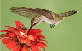 Hummingbird flight, wings, red flowers HD wallpaper