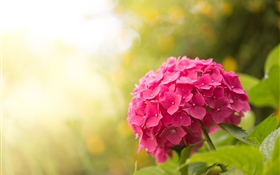 Pink hydrangea, flowers, glare HD wallpaper