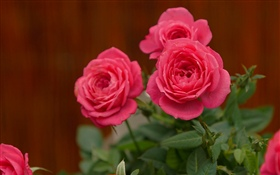 Pink roses, flowers HD wallpaper