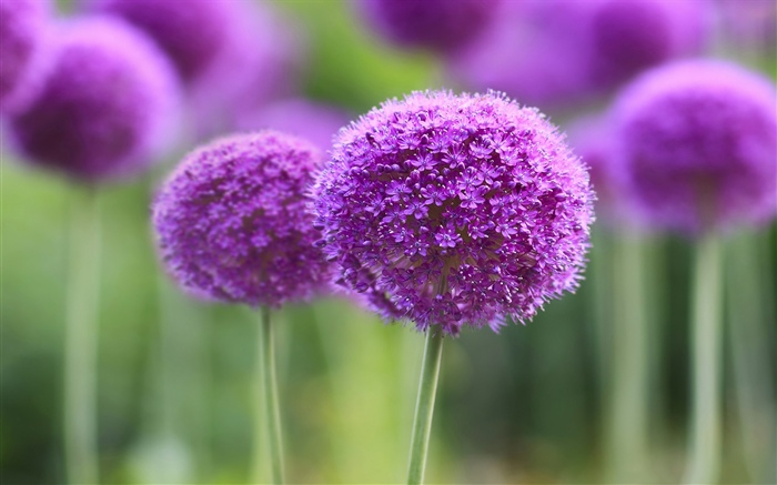 Purple flowers, ball, bokeh Wallpapers Pictures Photos Images