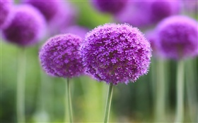Purple flowers, ball, bokeh HD wallpaper