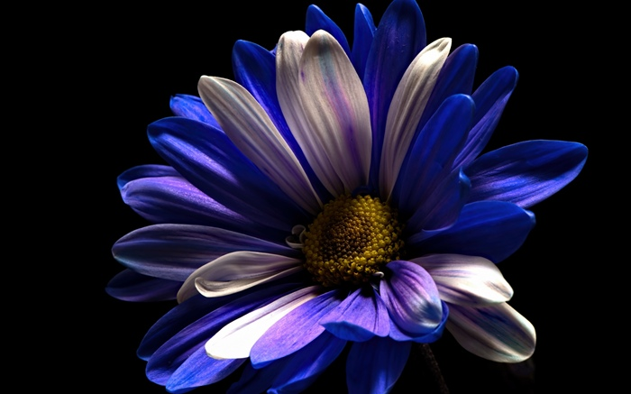 Purple white petals flower, black background Wallpapers Pictures Photos Images