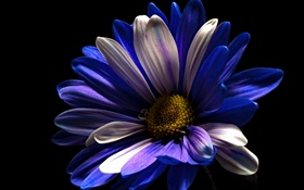 Purple white petals flower, black background HD wallpaper