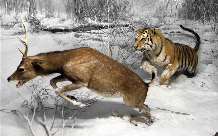 Tiger hunting deer Wallpapers Pictures Photos Images