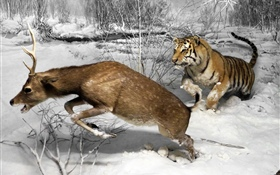 Tiger hunting deer