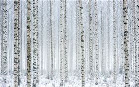 Trees, birch, forest, snow, winter