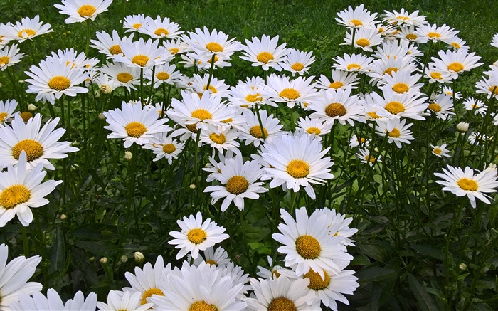White chamomile flowers, garden Wallpapers Pictures Photos Images