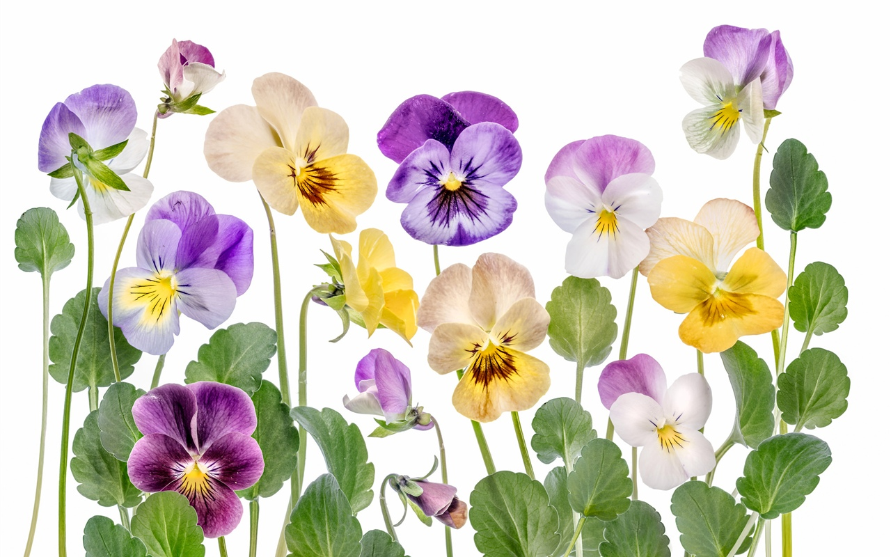 Colorful flowers, white background 1280x800 wallpaper