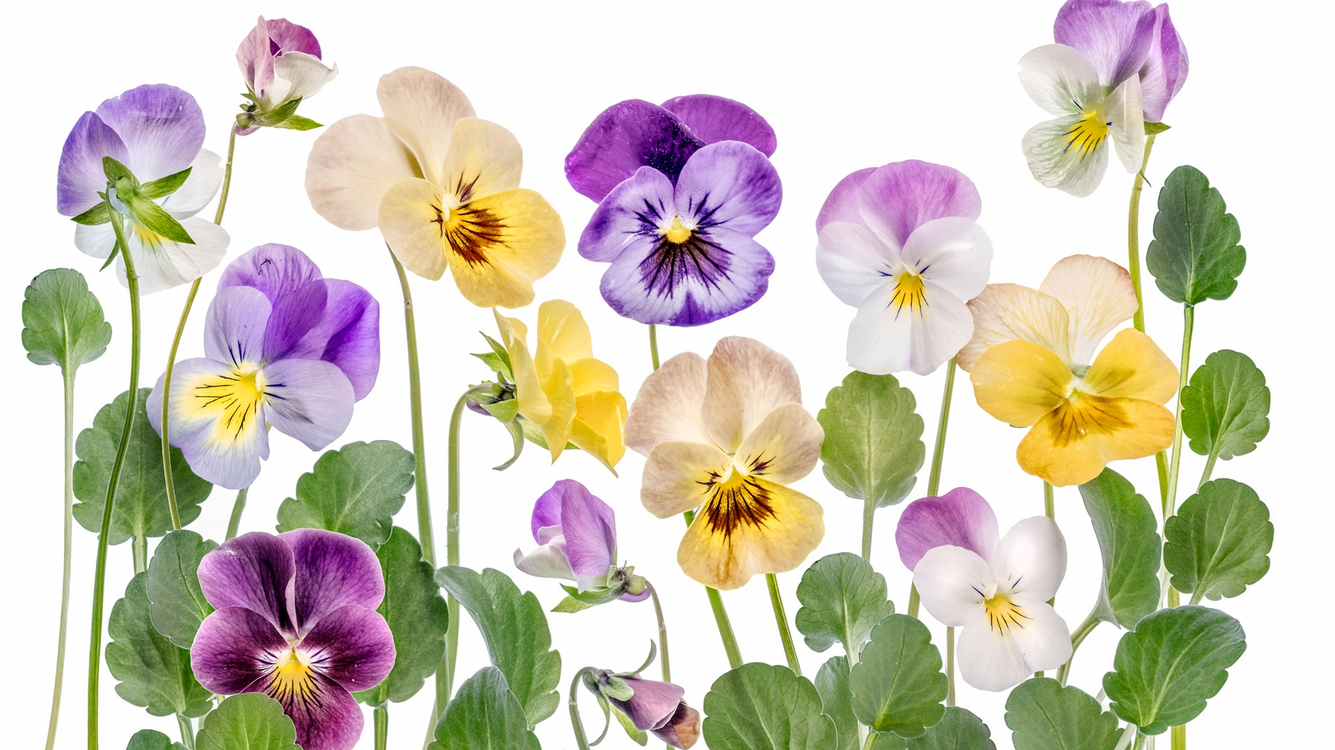 Colorful flowers, white background 1920x1080 wallpaper