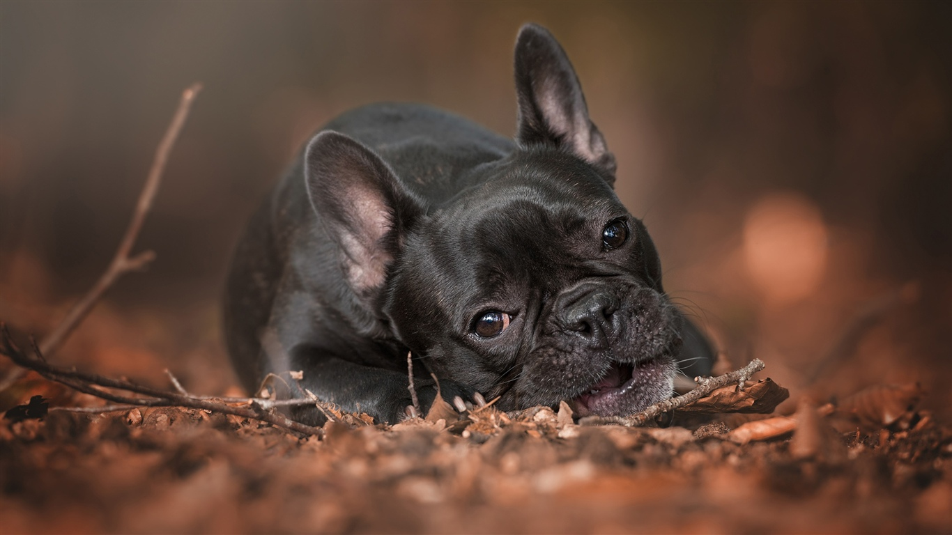 French bulldog, rest, ground 1366x768 wallpaper