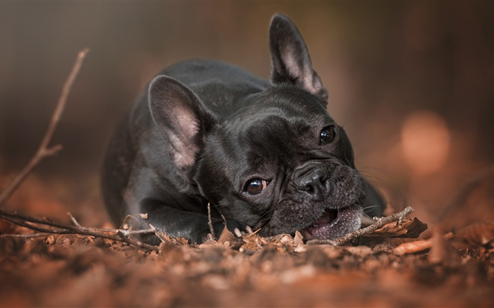 French bulldog, rest, ground Wallpapers Pictures Photos Images