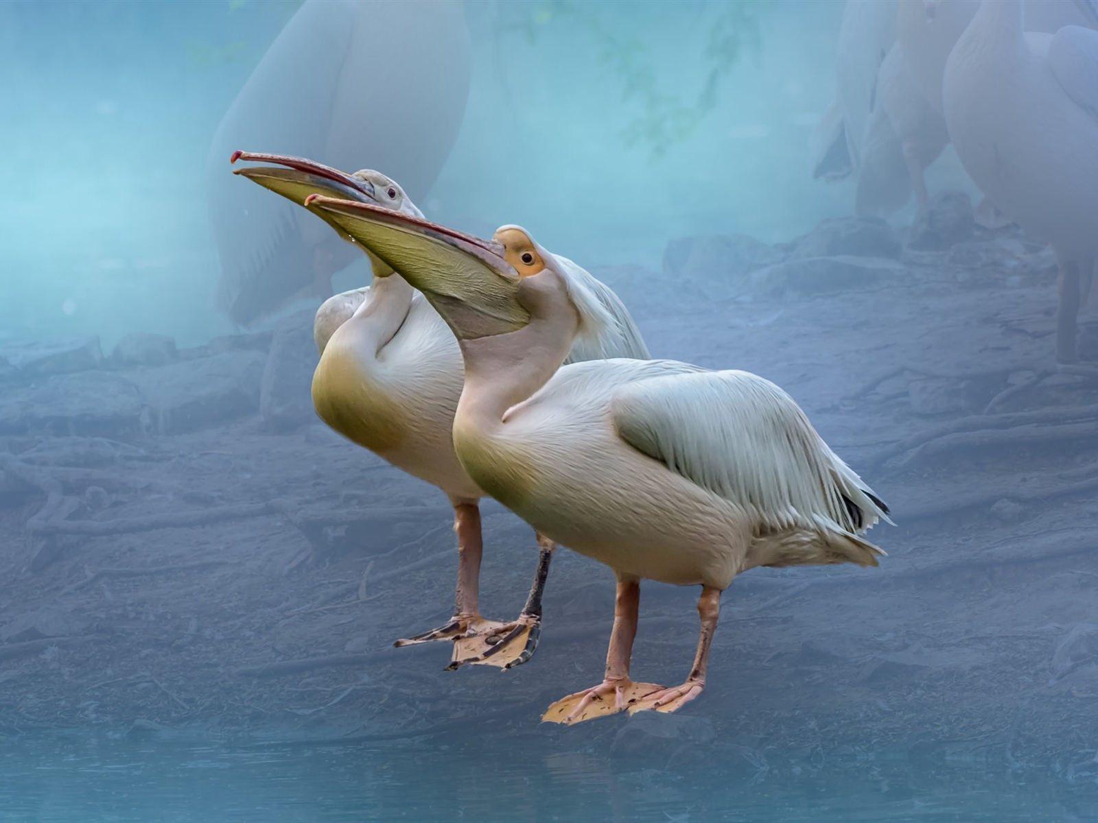 Two pelicans 1600x1200 wallpaper