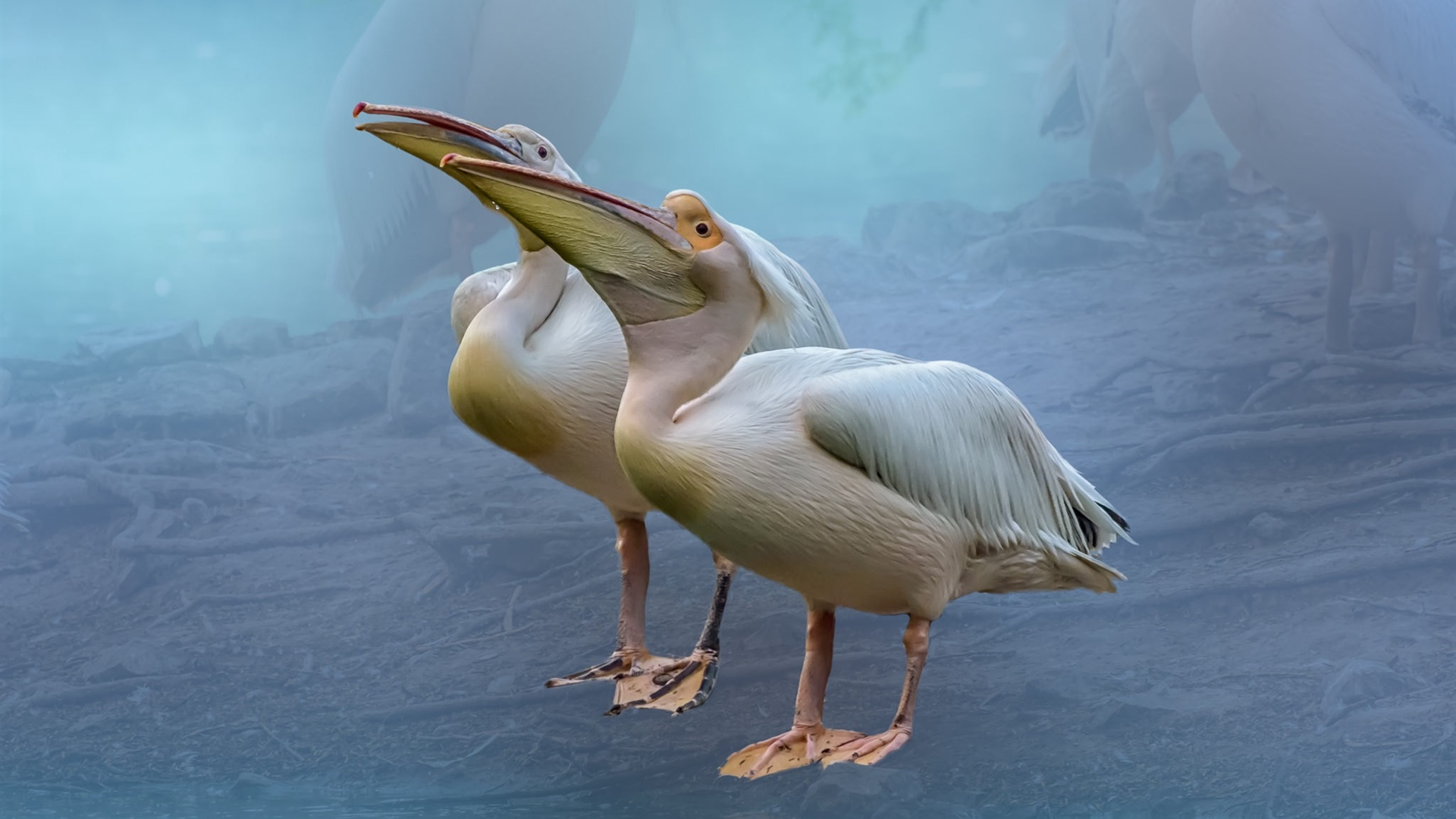 Two pelicans 1920x1080 wallpaper