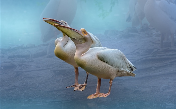 Two pelicans Wallpapers Pictures Photos Images
