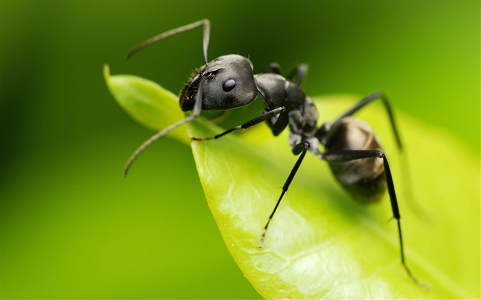 Ant, green leaf, insect Wallpapers Pictures Photos Images