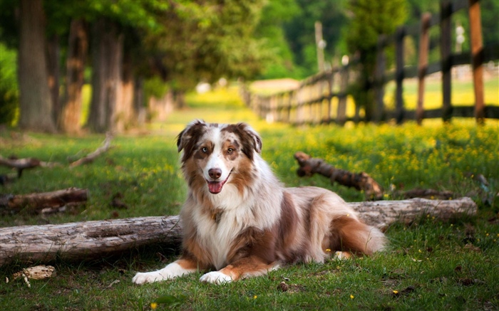 Australian shepherd dog, grass, summer Wallpapers Pictures Photos Images