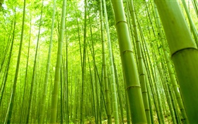 Bamboo forest, green, summer HD wallpaper