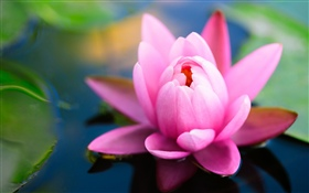 Beautiful pink water lily, pond HD wallpaper