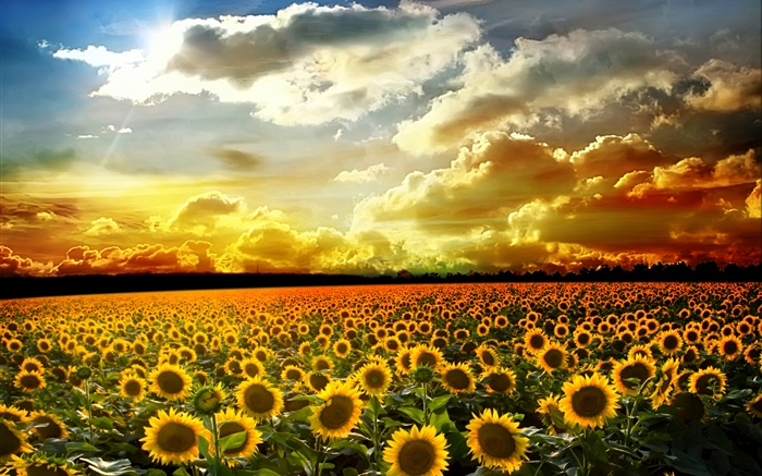 Beautiful sunflowers, summer, sunshine, clouds Wallpapers Pictures Photos Images