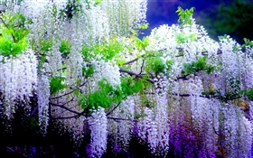 Beautiful wisteria flowers, spring HD wallpaper