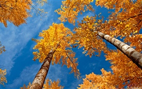 Birch, trees, blue sky, autumn HD wallpaper