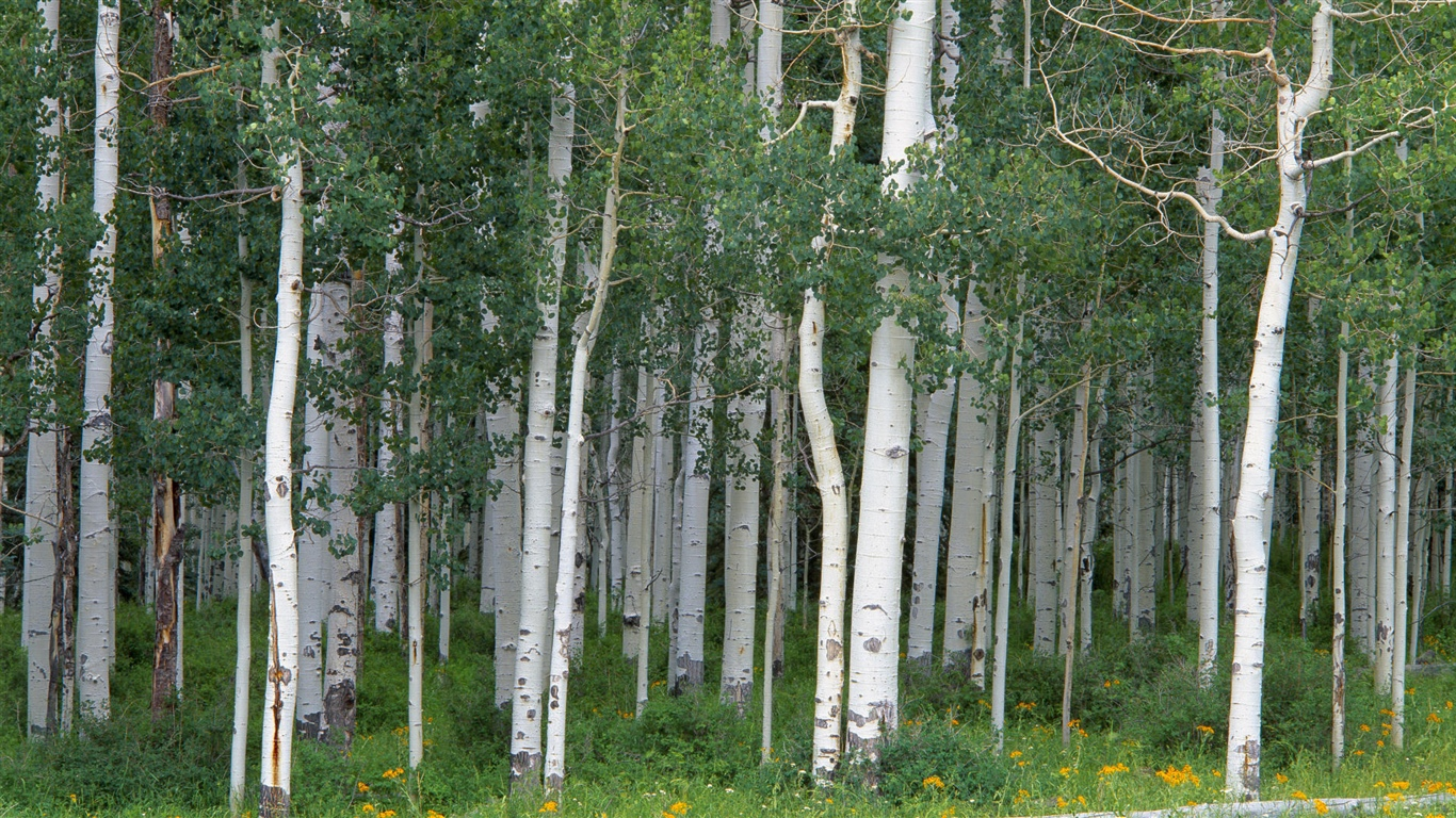 Birch trees, forest 1366x768 wallpaper