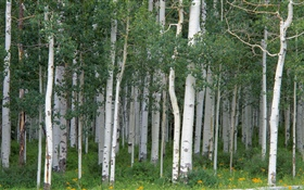 Birch trees, forest HD wallpaper
