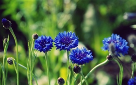 Blue flowers, green background HD wallpaper