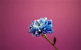 Blue petals flower, pink background HD wallpaper