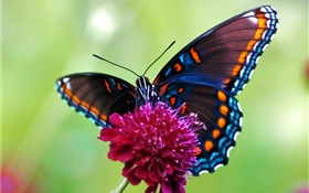 Butterfly, pink flower HD wallpaper