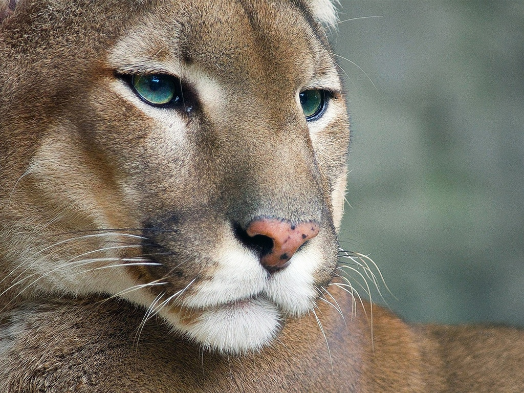Cougar, wildlife, face 1024x768 wallpaper