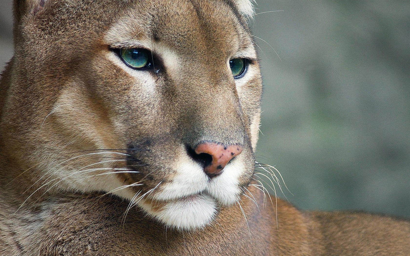 Cougar, wildlife, face 1680x1050 wallpaper
