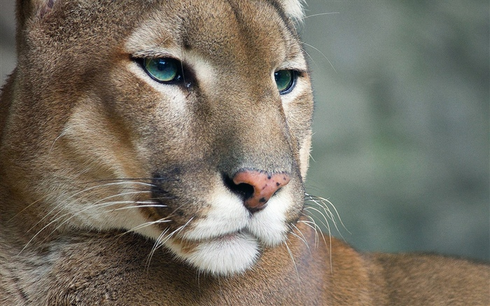 Cougar, wildlife, face Wallpapers Pictures Photos Images