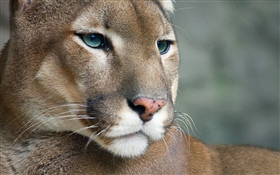 Cougar, wildlife, face HD wallpaper