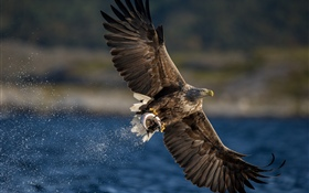 Eagle catch fish, wings, lake HD wallpaper