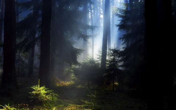 Forest, trees, fog, morning Wallpapers Pictures Photos Images