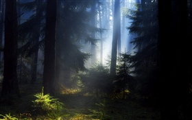 Forest, trees, fog, morning