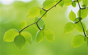 Green leaves, twigs, spring HD wallpaper