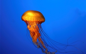 Jellyfish, blue background HD wallpaper