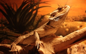 Lizard, desert HD wallpaper