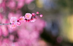 Pink apricot flowers HD wallpaper