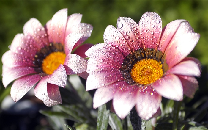 Pink flowers, petals, water droplets Wallpapers Pictures Photos Images