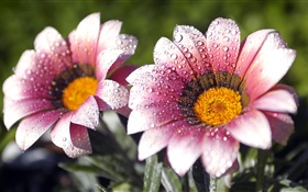 Pink flowers, petals, water droplets HD wallpaper